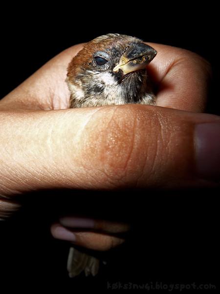 Sparrow Rescue 4