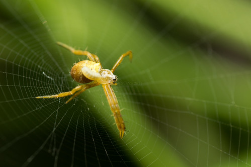 Yellow Orb Weaver Spider