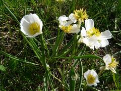 Renoncule plantain=Ranunculus kuepferi=plantagineus=pyrenaeus - Sampeyre 047