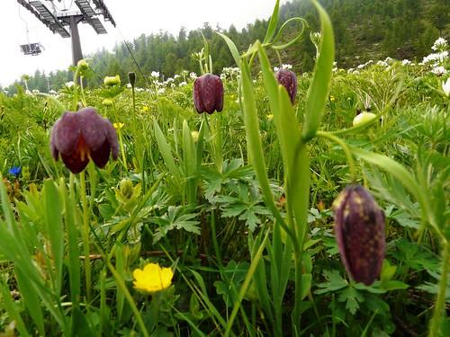 Fritillaire pintade=Fritillaria meleagris - Sampeyre 098