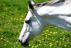 white knight (Tomitheos) Tags: portrait flickr poetry image avatar picture optical pic daily photograph capture now today stallion insight whiteknight halfahorse uxbridge stockphotography 2011 portperry abigfave bytomitheos rurallands horseprofileface