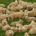 Ovelhas superam em mais de 15x a populacao da NZ
