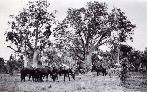 1921 En route from Argyle to Ivanhoe showing baobab trees, conveyances, pack horses and spare horses - KHS-2011-15-16-P2-D
