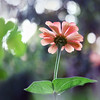 Miss Sunshine. Tanjica Perovic Photography. (Tanjica Perovic) Tags: summer flower garden photography petals bokeh july getty zinnia gettyimages fotografija фотографија lepigliša тањицаперовић tanjicaperovicphotography availableforlicensingongettyimages