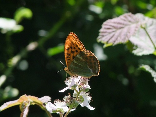 Silver Washed Fritillary  by Lynmiranda