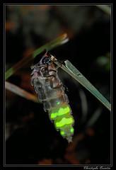 Vers luisant (Lampyris noctiluca) (cquintin) Tags: glowworm noctiluca lampyris versluisant