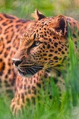 [フリー画像] 動物, 哺乳類, 豹・ヒョウ, 201107171100