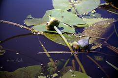 Orla - Ophelia's bouquet (dolny_slask) Tags: river europe orla poland polska polen easterneurope waterplants rzeka dolnyslask lowersilesia dolnośląskie dolnyśląsk dolinabaryczy baryczvalley