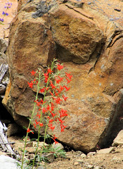 scarlet gilia (Pictoscribe) Tags: butte winthrop north cascades methow sweetgrass pictoscribe