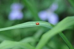 a little visitor to our garden (hedgiecc) Tags: green garden insect clematis july ladybird daylilies