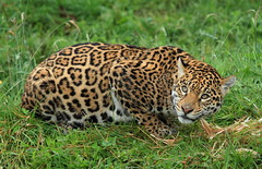 Bonita (Mark Butcher) Tags: bonita southlakeswildanimalpark flickrbigcats southamericanjaguaress