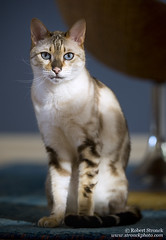 Bokeh (Bob Stronck) Tags: cats pets feline exotic marbled housecat snowleopard purebred bengalcat seallynxpoint ©rmstronck stronckphotocom