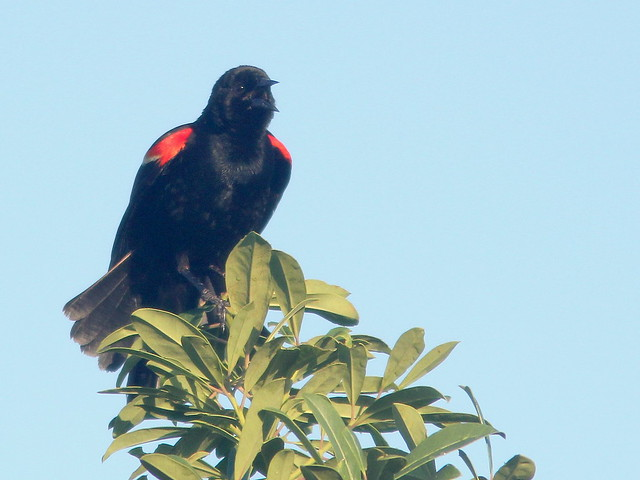 Red-winged Blackbird 20110721