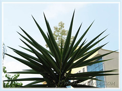 Yucca aloifolia (Spanish Bayonet, Aloe Yucca) with pendulous white flowers at Cheras Business Centre, KL - July 4 2011