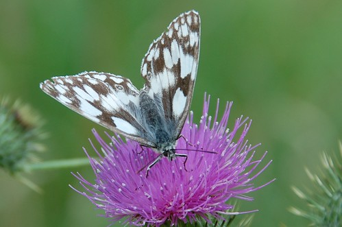 butterly marbled white