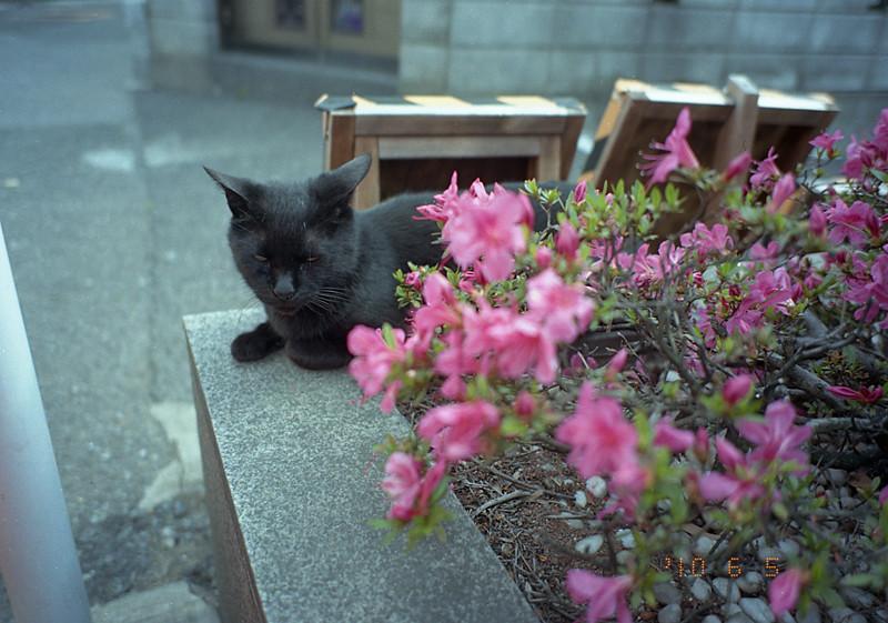 黒猫とつつじ