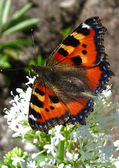 Tortoiseshell Butterfly (Misty Jane) Tags: ngc