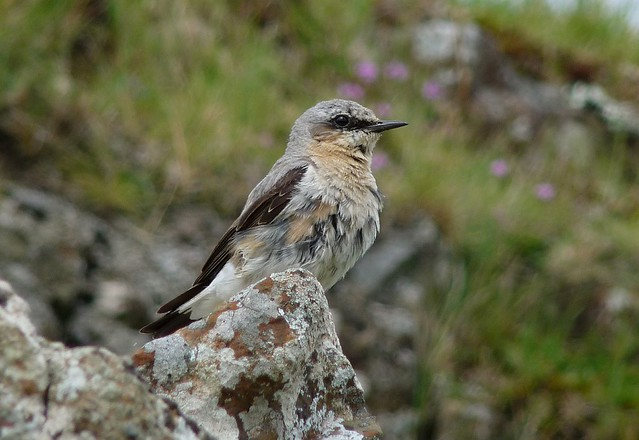 24665 - Wheatear, Isle of Mull
