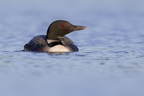 Common Loon in Profile by Jeff Dyck
