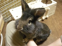 DSCN5548 (minimaltama) Tags: pet rabbit bunny animal  lionhead