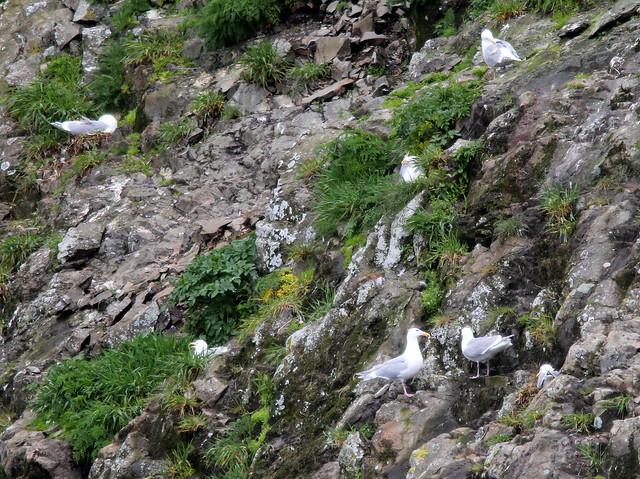 Glacous-winged Gulls nesting 20110625