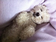 Snoozin' (DougButcher) Tags: sleeping dog sleep teeth blanket casper snooze bichon frise paws asleep snoozing