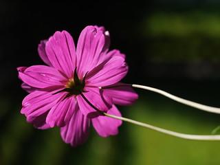 Blume Flower Sommer Summer Cosmos Cosmea