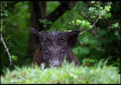 Wild Boar Sow (saish746) Tags: red wild india robin birds female creek pig booted bangalore magpie oriental karnataka boar tamilnadu warbler bulbul bandipur vented mudumalai kobble