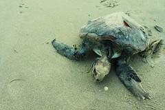 turtle (Juliana Zanardi) Tags: praia paran mar areia natureza flor banco rosa lixo madeira tartaruga pedras iemanj caiob canont1i julianazanardi