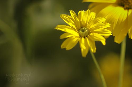 217:365 yellow daisy