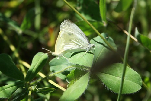 Cabbage White butterflys mating