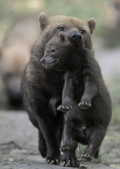 Bush dog puppy transport (gentle lemur) Tags: puppy chesterzoo bushdog speothosvenaticus