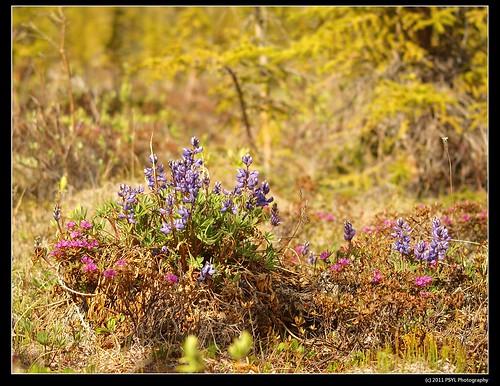 Arctic Lupine (Lupinus arcticus Wats.)