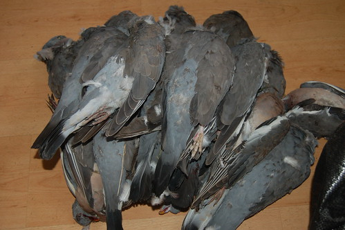 wood pigeons Aug 11 2