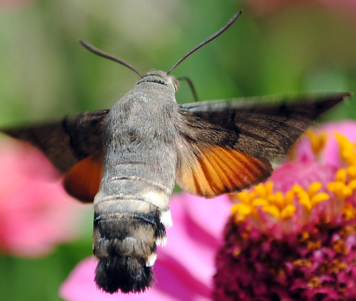 Hummingbird hawk moth 4