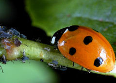 Aphids v ladybird (gillybooze) Tags: macro bug 60mm allrightsreserved 36mmextensiontube