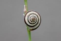 snail (bugman11) Tags: macro nature animal animals fauna canon nederland thenetherlands snail snails autofocus thegalaxy mygearandme allnaturesparadise infinitexposure