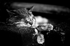 [フリー画像] 動物, 哺乳類, 猫・ネコ, ノドアカハチドリ, モノクロ写真, 201108081700