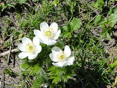 Anemone on trail to upper Crystal Lake.