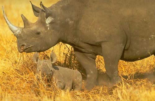 Rhinos. Credit Dave Currey.