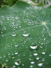 Bulletproofed (ilurch) Tags: macro reflection leaves rain closeup garden raindrops alchemilla ladysmantle summershower
