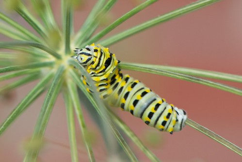 Caterpillar in the dill 1