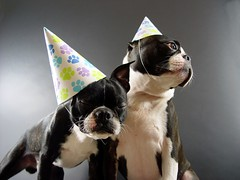 "Aug 06 2011 [Day 278] ""Happy Birthday Jack-Jack"" (James_Seattle) Tags: birthday 2001 boston jack bostonterrier sony cybershot august 1yearold 365 breathe angelamccluskey year1 jackjack dscf717 2011 sonycybershotdscf717 tlpopmusik geneticworld jamesseattle fabricedumont songlyricsaturday stephanhaeri christophehetier"