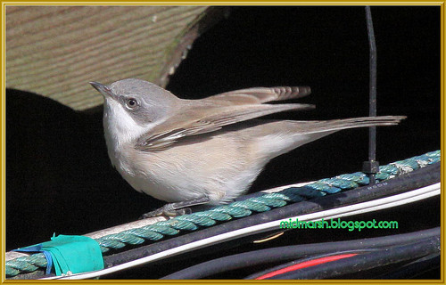 Lesser Whitethroat 2