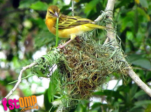 Rare sight: Skillful weaver birds build intricate nest in Punggol