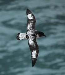 Cape Petrel flying over the Southern Ocean (Liam Quinn) Tags: wild bird wildlife antarctica southernocean seabird birdinflight petrel capepetrel daptioncapense capepigeon pintadopetrel