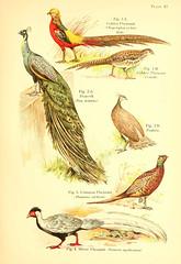Anglų lietuvių žodynas. Žodis chrysolophus pictus reiškia <li>Chrysolophus pictus</li> lietuviškai.