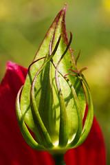 Hibiscus coccineus モミジアオイ