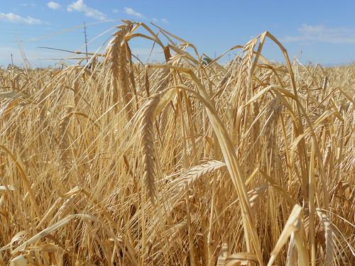 Barley close up
