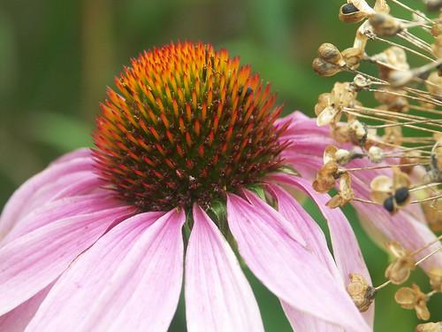 Echinacea & allium seedhead